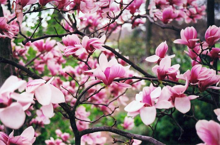 Forest Pink Saucer Magnolia Magnolia X Soulangeana Forest Pink
