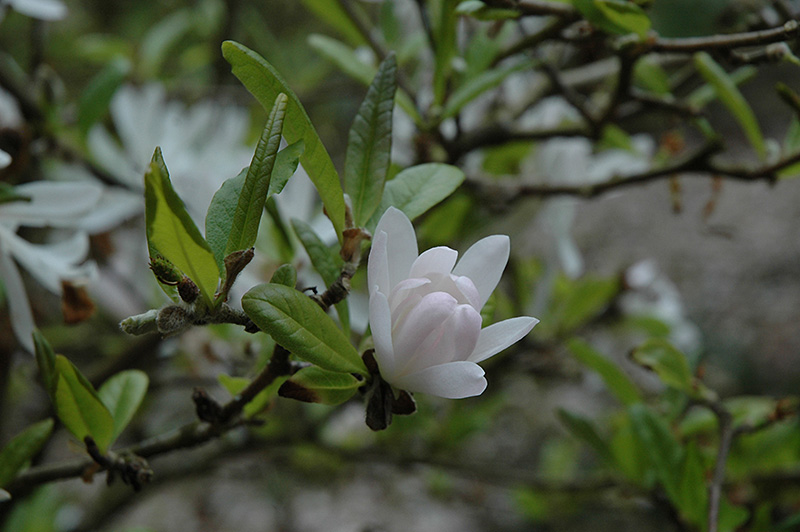 Pink Star Magnolia Magnolia Stellata Rosea In St Louis