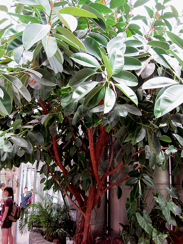 Rubber Tree Ficus Elastica At Thies Farm Greenhouses