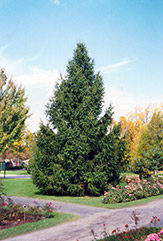 Norway Spruce (Picea abies) at Thies Farm & Greenhouses