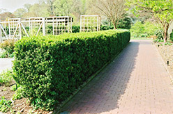 Common Boxwood (Buxus sempervirens) at Thies Farm & Greenhouses