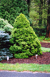 Dwarf Alberta Spruce (Picea glauca 'Conica') at Thies Farm & Greenhouses