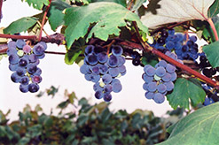 Concord Grape (Vitis 'Concord') at Thies Farm & Greenhouses