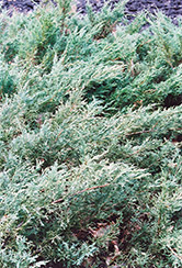 Blue Sargent Juniper (Juniperus chinensis 'var. sargentii Glauca') at Thies Farm & Greenhouses