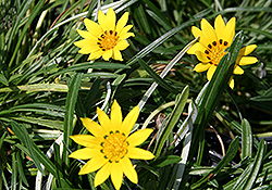 Colorado Gold Gazania (Gazania linearis 'Colorado Gold') at Thies Farm & Greenhouses