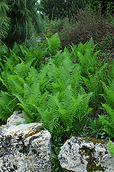 Ostrich Fern (Matteuccia struthiopteris) at Thies Farm & Greenhouses