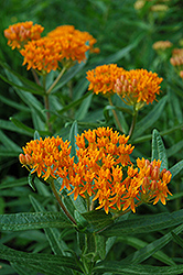 Butterfly Weed (Asclepias tuberosa) at Thies Farm & Greenhouses