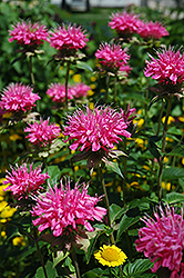 Marshall's Delight Beebalm (Monarda 'Marshall's Delight') at Thies Farm & Greenhouses