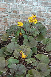 Britt Marie Crawford Rayflower (Ligularia dentata 'Britt Marie Crawford') at Thies Farm & Greenhouses