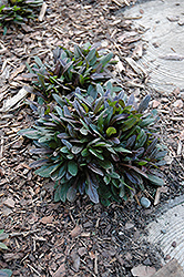 Chocolate Chip Bugleweed (Ajuga reptans 'Chocolate Chip') at Thies Farm & Greenhouses