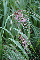 Maiden Grass (Miscanthus sinensis) at Thies Farm & Greenhouses