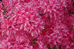 Rosy Lights Azalea (Rhododendron 'Rosy Lights') at Thies Farm & Greenhouses