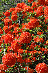 Mandarin Lights Azalea (Rhododendron 'Mandarin Lights') at Thies Farm & Greenhouses