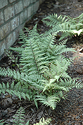 Ghost Fern (Athyrium 'Ghost') at Thies Farm & Greenhouses