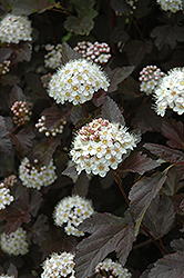 Diablo Ninebark (Physocarpus opulifolius 'Diablo') at Thies Farm & Greenhouses