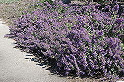 Walker's Low Catmint (Nepeta x faassenii 'Walker's Low') at Thies Farm & Greenhouses