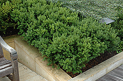 Dark Green Spreader Yew (Taxus x media 'Dark Green Spreader') at Thies Farm & Greenhouses