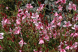 Butterfly Gaura (Gaura lindheimeri) at Thies Farm & Greenhouses