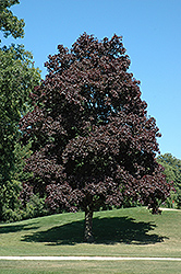 Crimson King Norway Maple (Acer platanoides 'Crimson King') at Thies Farm & Greenhouses