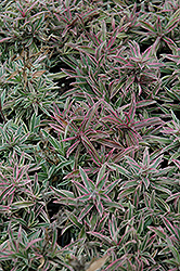 Variegated Creeping Phlox (Phlox x procumbens 'Variegata') at Thies Farm & Greenhouses
