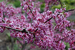 Joy's Pride Redbud (Cercis canadensis 'Morton') at Thies Farm & Greenhouses