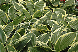 Golden Variegated Hosta (Hosta fortunei 'Aureomarginata') at Thies Farm & Greenhouses