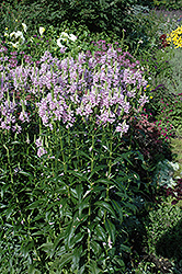 Obedient Plant (Physostegia virginiana) at Thies Farm & Greenhouses