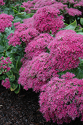 Neon Stonecrop (Sedum spectabile 'Neon') at Thies Farm & Greenhouses