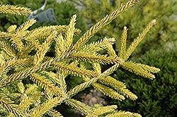 Skylands Golden Spruce (Picea orientalis 'Skylands') at Thies Farm & Greenhouses