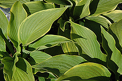 American Icon Hosta (Hosta 'American Icon') at Thies Farm & Greenhouses