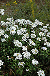 Purity Candytuft (Iberis sempervirens 'Purity') at Thies Farm & Greenhouses