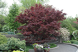 Bloodgood Japanese Maple (Acer palmatum 'Bloodgood') at Thies Farm & Greenhouses