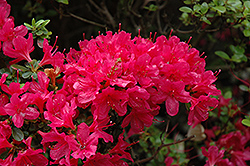 Hino Crimson Azalea (Rhododendron 'Hino Crimson') at Thies Farm & Greenhouses