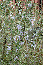 Arp Rosemary (Rosmarinus officinalis 'Arp') at Thies Farm & Greenhouses