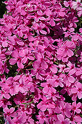 Red Wings Moss Phlox (Phlox subulata 'Red Wings') at Thies Farm & Greenhouses
