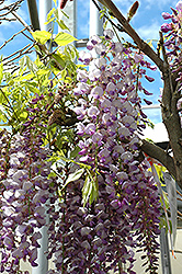 Black Dragon Wisteria (Wisteria floribunda 'Black Dragon') at Thies Farm & Greenhouses