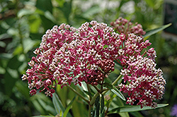 Cinderella Milkweed (Asclepias incarnata 'Cinderella') at Thies Farm & Greenhouses