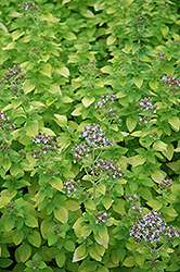 Golden Oregano (Origanum vulgare 'Aureum') at Thies Farm & Greenhouses