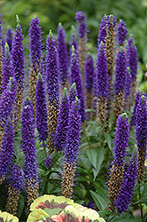 Royal Candles Speedwell (Veronica spicata 'Royal Candles') at Thies Farm & Greenhouses