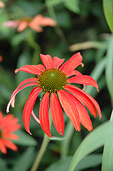 Tomato Soup Coneflower (Echinacea 'Tomato Soup') at Thies Farm & Greenhouses