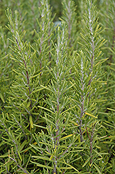Upright Rosemary (Rosmarinus officinalis 'Upright') at Thies Farm & Greenhouses