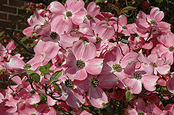 Cherokee Brave Flowering Dogwood (Cornus florida 'Cherokee Brave') at Thies Farm & Greenhouses