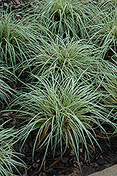 Evergold Variegated Japanese Sedge (Carex oshimensis 'Evergold') at Thies Farm & Greenhouses