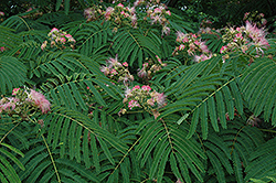 Mimosa (Albizia julibrissin) at Thies Farm & Greenhouses