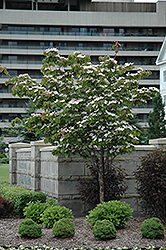 Flowering Dogwood (Cornus florida) at Thies Farm & Greenhouses