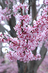 Eastern Redbud (Cercis canadensis) at Thies Farm & Greenhouses