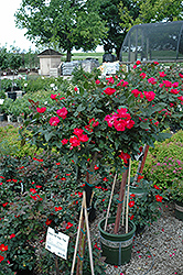 Knock Out® Rose Tree (Rosa 'Radrazz') at Thies Farm & Greenhouses