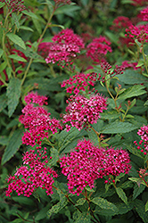 Neon Flash Spirea (Spiraea japonica 'Neon Flash') at Thies Farm & Greenhouses