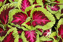Kong Rose Coleus (Solenostemon scutellarioides 'Kong Rose') at Thies Farm & Greenhouses