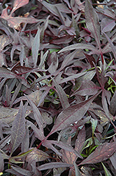 Illusion Midnight Lace Sweet Potato Vine (Ipomoea batatas 'Illusion Midnight Lace') at Thies Farm & Greenhouses